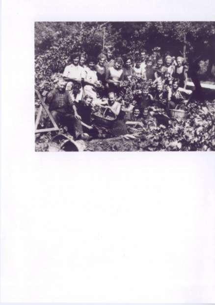 obiranje hmelja 1949